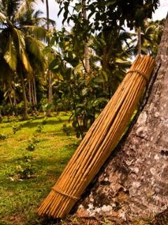 A Freshly Harvested Bundle of La Cannelle Plantation Cinnamon