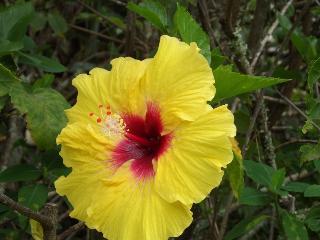 Hibiscus front garden