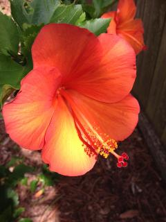 Hibiscus rear garden