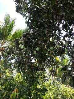 One of La Cannelle Plantation's Prolific Mango Trees