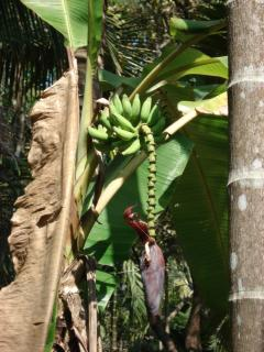 A banana flower in the grounds