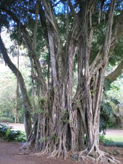 Beautiful Banyan Tree Forests Nearby