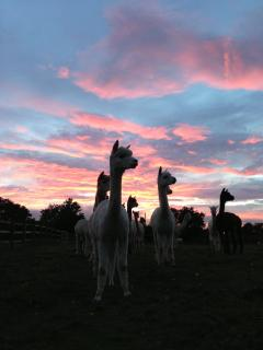Some of my Alpacas with the sunset