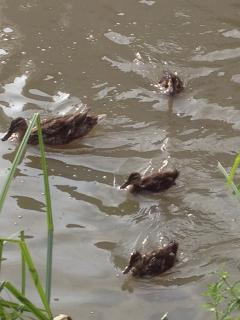 Duck and ducklings!