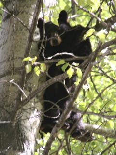 Baby bear, in back field.