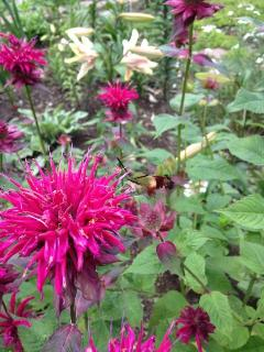 Hummingbird moths enjoying the menarda(bee balm)