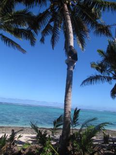 Indar climbs the coconut tree