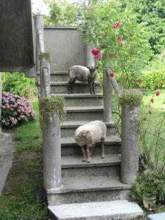 Resident tame Ouessant sheep Milly and Tilly