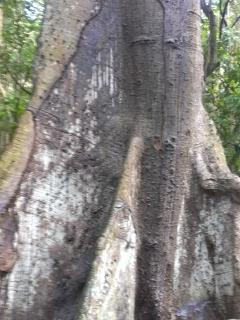 Baobab tree in the rain forest