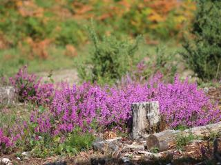 Autumn Heather in The New Forest