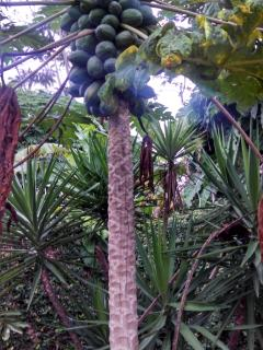 Backyard Papaya Tree