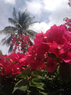 Beautiful bougainvillea in the gardens