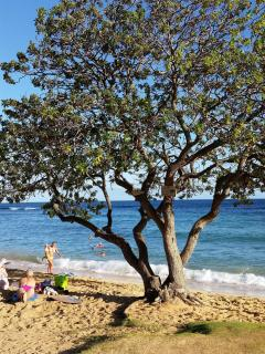 A shade tree in Poipu Beach,