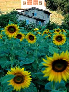 View of house through the sunflowers