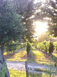 View from the garden towards our neighbour's wineyard - just walk over and buy fantastic Verdicchio