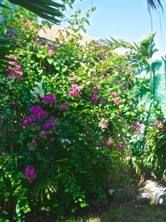Blooming Bougainvilleas in the garden