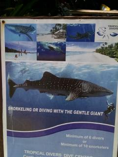 Dive with peaceful giant whale sharks