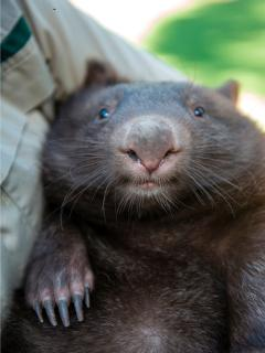 Take a tour to see the wombats at Healesville Sanctuary
