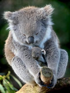 Koala with baby at Healesville Sanctuary