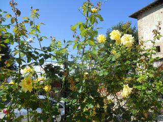 Yellow roses greet couples in Summer on the garden path....