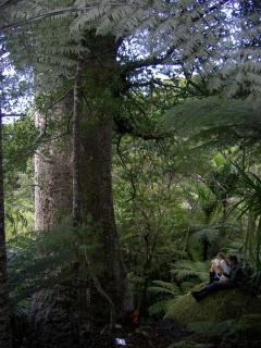 Giant Kauri in Waiaro