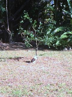 And if you have a minute to spare watch the Kookaburra's hunt for a meal in your back yard