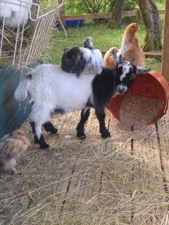 The owners keep pygmy goats, chickens and 2 turkeys.