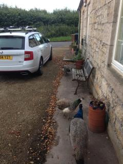 3 Peacocks regularly visit the cottage, early morning summer