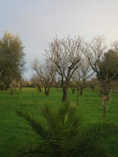 Almond farm during harvest in the fall, over 50 trees fresh for the picking, cracking & roasting
