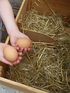 Eggs are free at Puddleduck Valley. Children love collecting the warm eggs.