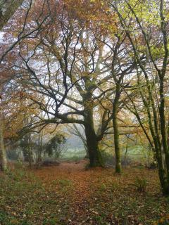 This is our favourite tree. The beech tree looks spectacular from September to November.
