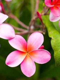 Plumeria Garden Flowers