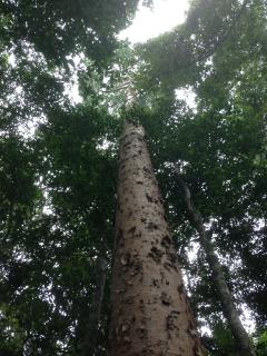 Tall rainforest Kauri pine.