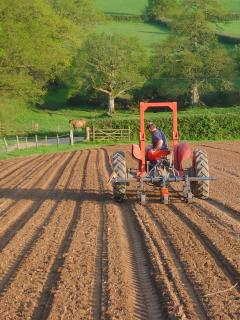 Tilling early carrots at Hallwood