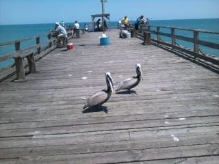 Pelicans on Kure Beach Pier