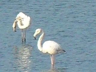 Flamingoes at Rio Formosa Nature Park