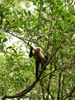 White faced monkeys