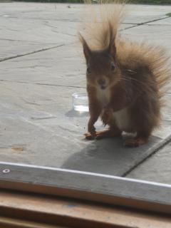 Red squirrel lunching on the patio