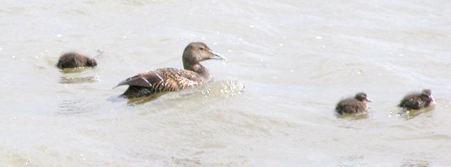 There are a family of eider who come every year and Sonny is their self appointed Guardian !