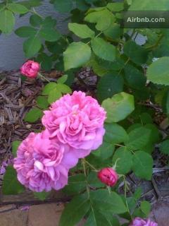 blooming heirloom roses...