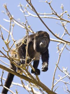 Your neighbor, the Congo (Howler) Monkey