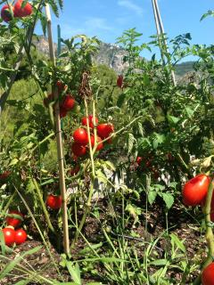 How about 4 varieties of tomatoes totally organic for a good fresh salad