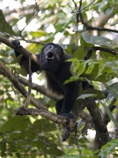 Howler monkeys, your neighbors!