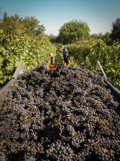 grape harvest 2014