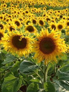 Sunflower fields in Arles