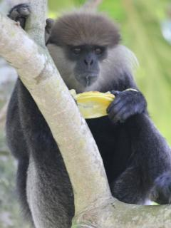 Purple-faced Leaf monkey