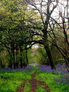 Beautiful local bluebell wood