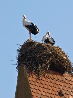 le nid de cigogne sur le clocher de l'église d'Eguisheim