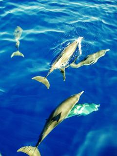 Dolphins off Turtle Beach.