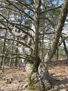 Jacks hikes are incredable, check out this oak with a cedar growing out of the center.